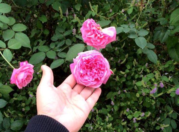 Các loại hoa hồng dễ trồng cho người mới bắt đầu